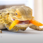 Can Bearded Dragons Eat Mango? Do They Like It?