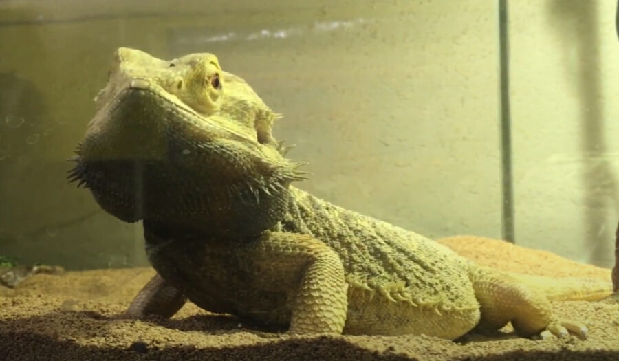 Scared Bearded Dragon