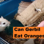 Can Gerbils Eat Oranges? How Much, How Often?