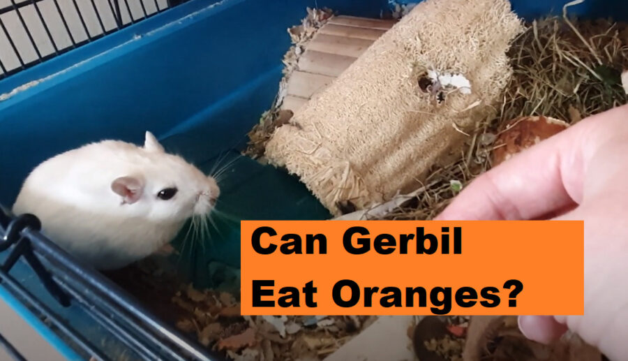 can gerbils eat oranges