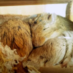 Do Gerbils Hibernate? (Everything You Need To Know Here)