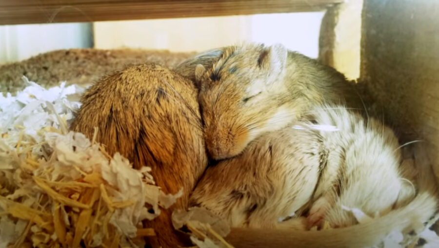 Do Gerbils Hibernate