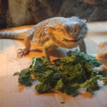 Can Bearded Dragons Eat Cabbage? Do They Like it?