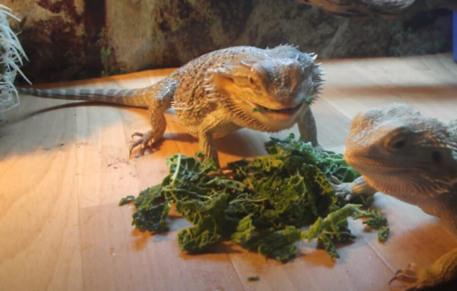 How to Feed Bearded Dragons Cabbage
