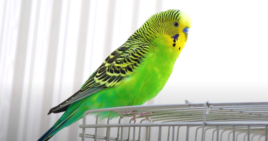 Are Budgies Loud