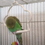 Why is My Budgie Bobbing Its Head Up and Down?
