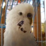 Why is My Budgie Making Whimpering Noises?