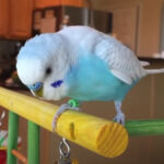 Why is My Budgie Tail Bobbing? What Does It Mean?