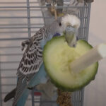 Can budgies eat cucumber? is it good for them?