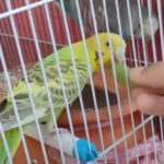 Can budgies eat grapes? Is it safe to feed them grapes?