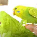 Can budgies eat lettuce? Do They Like It?