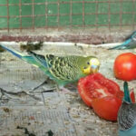 Can budgies eat tomatoes? Is It Safe For Them To Eat?