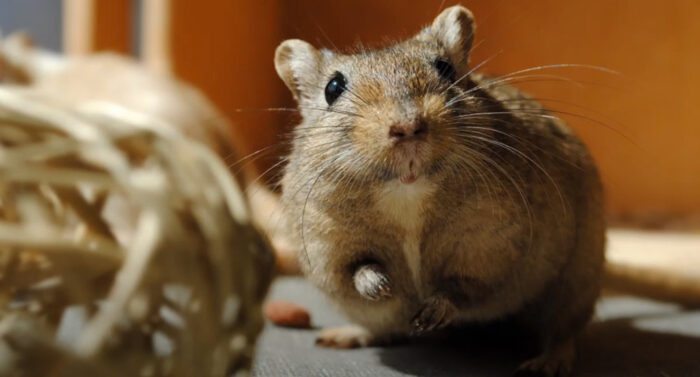 How to Get Rid of Fleas on a Gerbil