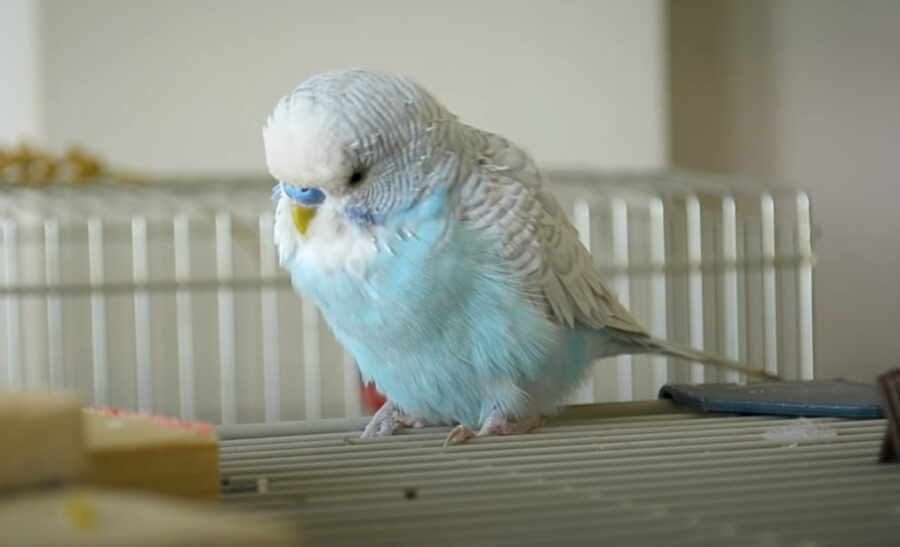 Signs Your Budgie is Dying Slowly
