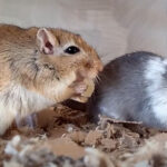 Can Gerbils Eat Cheese? What Kind Can They Eat?