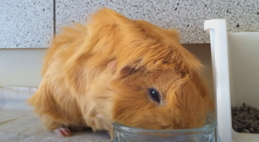 Guinea Pig Drinking from a Bowl