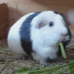 Why Is My Guinea Pig Gagging? What Should I Do