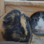 Guinea Pig Vomit : Everything You Need to Know