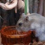 What Can Hamsters Drink? (Apart From Water)