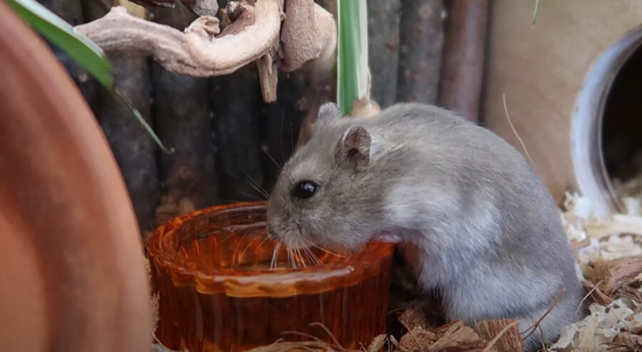 What Can Hamsters Drink