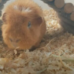 Is Pine Bedding Good for Guinea Pigs?